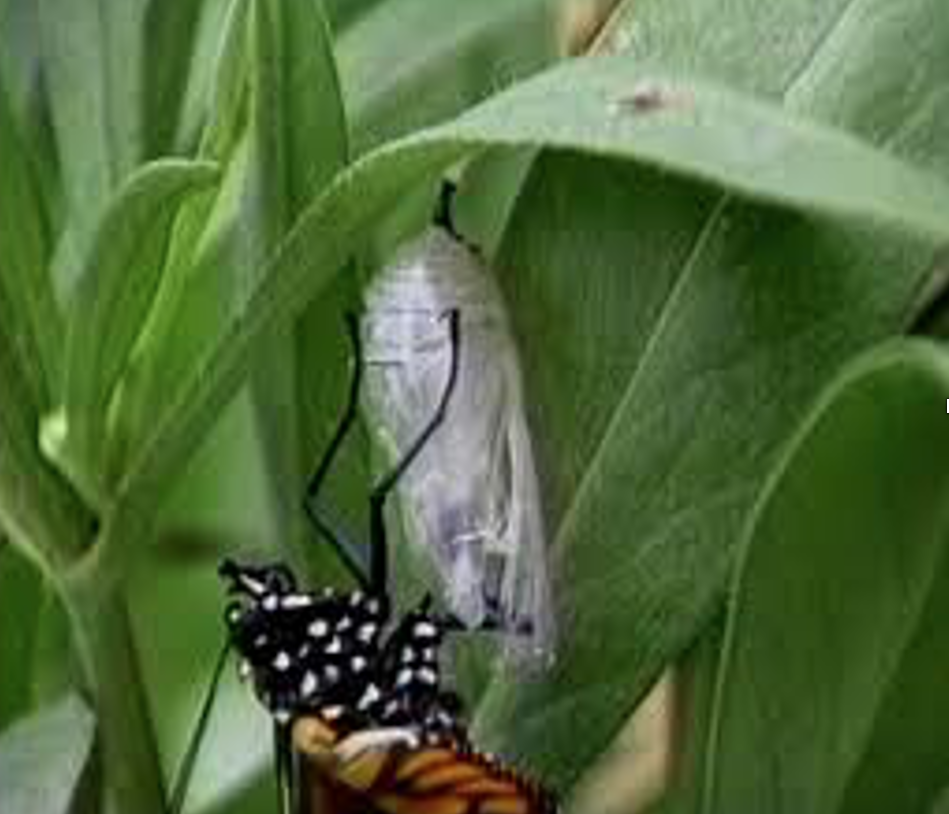 A monarch butterfly hands from a translucent cocoon attached to bright green leaves.